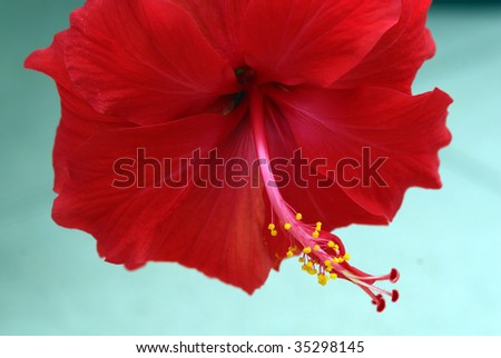 Close up of a red hibiscus flower