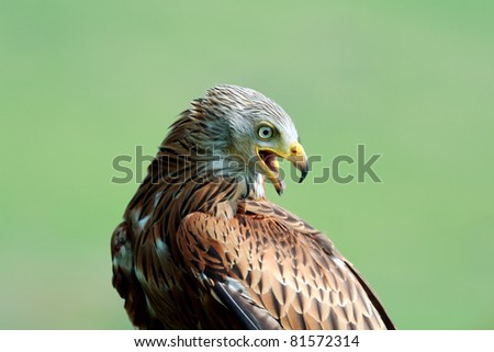 Close-up of a Red Kite taken while at rest at the Barn Owl Centre in Mid-Wales