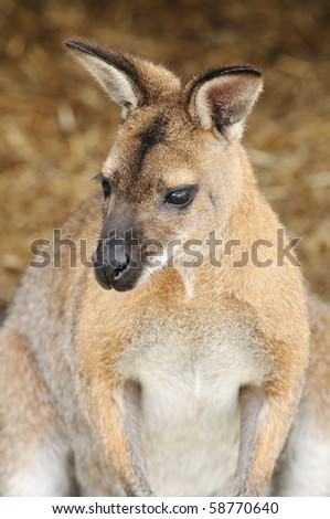 Close up of a Red-necked Wallaby (Macropus rufogriseus)