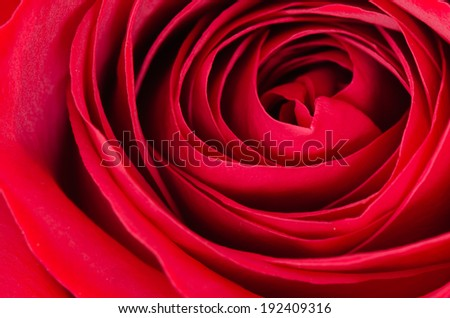 Close up of a red rose