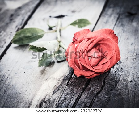 close up of a red rose on dark grunge wood desk, vintage love theme - stock photo