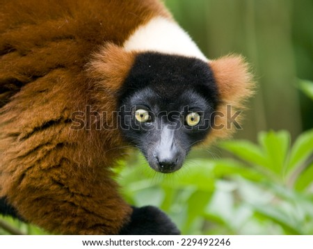 Close up of a red ruffed lemur with bright yellow eyes - stock photo
