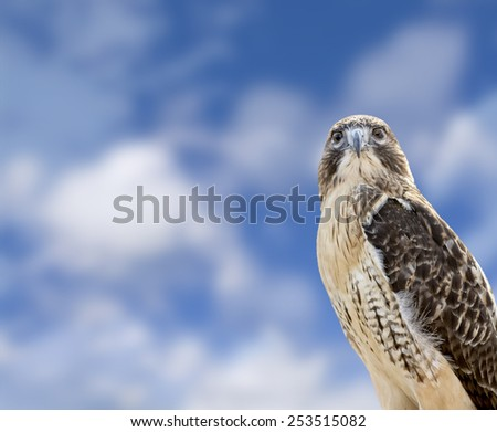 Close up of a Red Tailed Hawk with a beautiful blue, cloudy sky background. The most common hawk in North America.  - stock photo