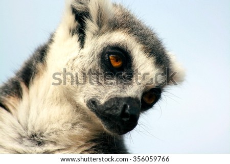 close up of a ring tailed lemur taking a nap - stock photo