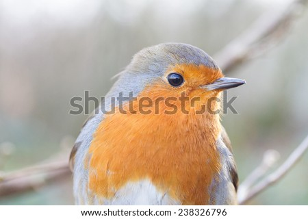 Close up of a robins head in a natural environment setting.