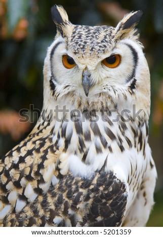 Close-up of a Rock Eagle Owl - stock photo