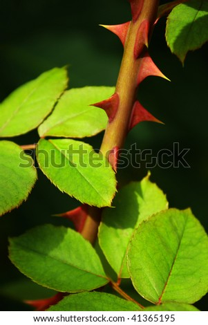 Close up of a rose stem with sharp thorns and green leaves. - stock photo