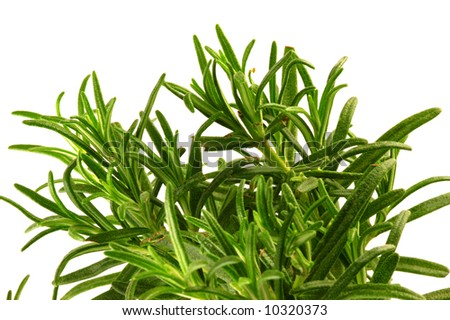 close-up of a rosemary plant over a white background - stock photo