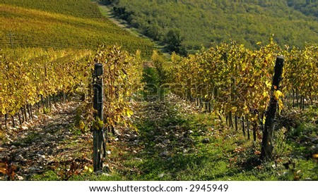 Close-up of a row of vines from a large vineyard, Chianti, Italy.