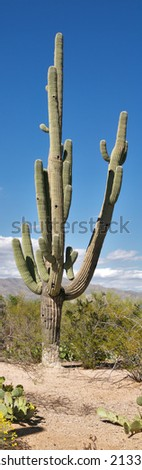 Close up of a Saguaro. - stock photo