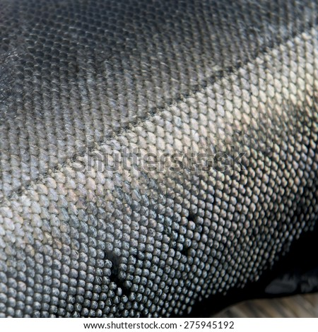Close-up of a salmon fish, Skeena-Queen Charlotte Regional District, Hippa Island, Haida Gwaii, Graham Island, British Columbia, Canada