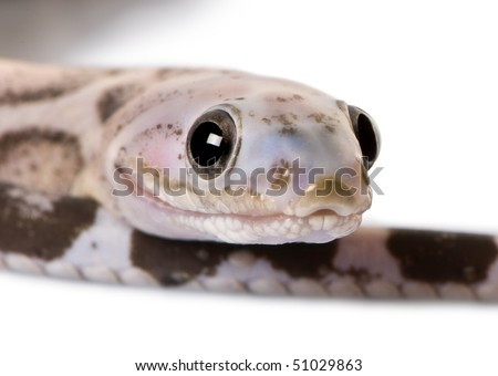 Close-up of a scaleless corn snake or red rat snake, Pantherophis guttatus, in front of white background - stock photo