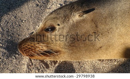 Close Up of a Sea Lion in the Galapagos Islands - stock photo
