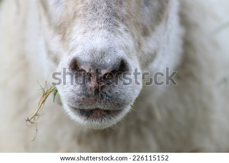 Close-up of a sheep eating a straw of grass - stock photo