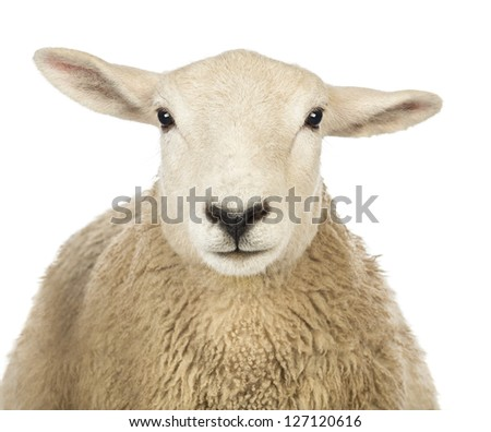 Close-up of a Sheep's head against white background - stock photo