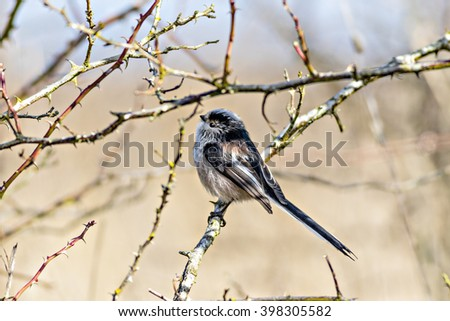 Close up of a single Long Tailed Tit (Aegithalos caudatus) perching in a bush in winter - stock photo