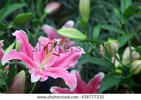 Close up of a single pink lily flower in full bloom - stock photo