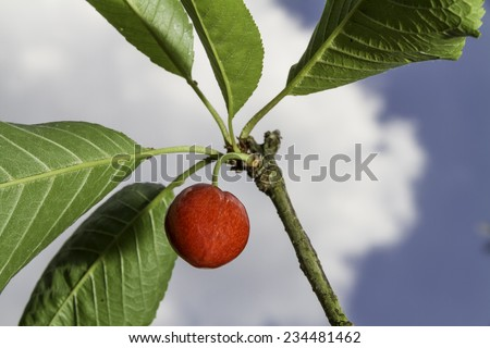Close up of a single ripe cherry on the tree - stock photo