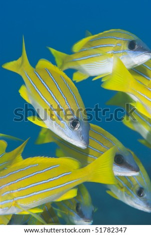 Close up of a small school of blue striped snapper (Lutjanus kasmira). Sharm el Sheikh, Red Sea, Egypt.