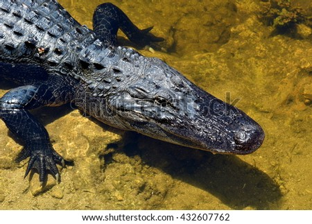 Close up of a South Florida American Alligator (Alligator mississippiensis). - stock photo