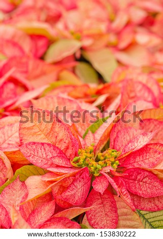 close up of a speckled pink poinsettia with selective focus - stock photo