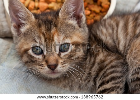 Close up of a striped kitten laying next to its food bowl on a dirty towel waiting to be adopted. - stock photo