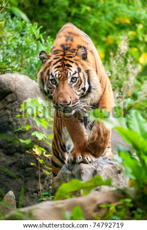 close up of a Sumatran tiger in the forest - stock photo