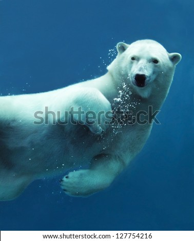 Close-up of a swimming polar bear underwater looking at the camera. - stock photo
