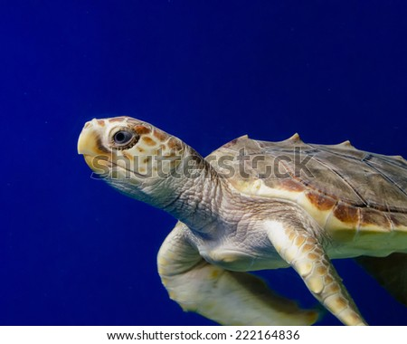 Close up of a swimming sea turtle against a blue backdrop. - stock photo