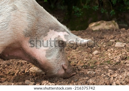 Close up of a Tamworth Pig searching for food - stock photo