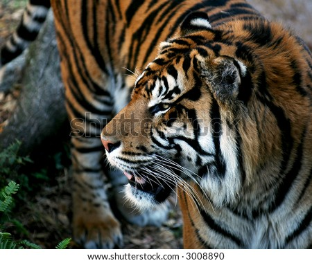 Close up of a tiger. - stock photo