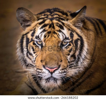 Close-up of a Tiger face - stock photo