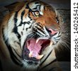 close up of a tiger's face with bare teeth of Bengal Tiger - stock photo