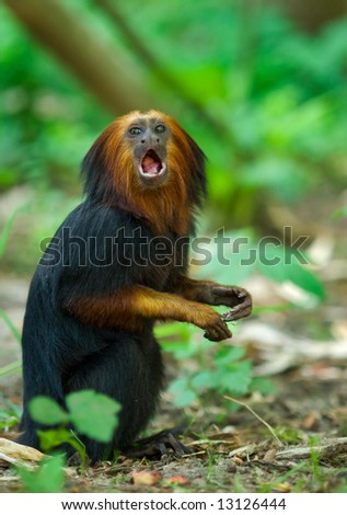 close up of a titi monkey (Simia personatus) - stock photo