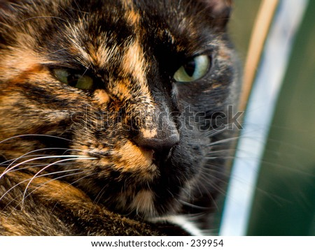 Close-up of a tortoiseshell cat indoors.