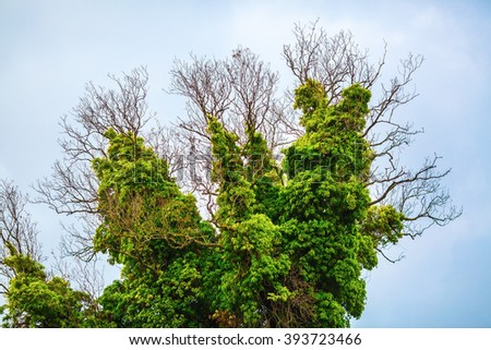 Close-up of a tree covered with lush green vegetation. Old dry tree, densely braided green bindweed with lush foliage. - stock photo