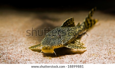 close up of a tropical catfish with leopard pattern - stock photo