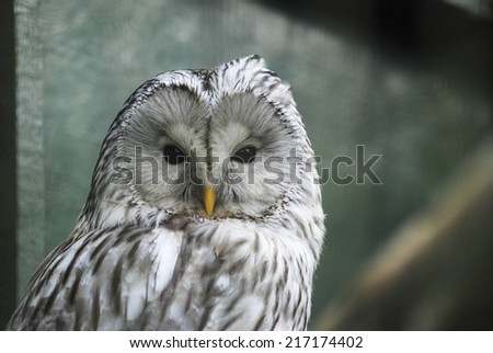 Close up of a Ural Owl in a zoo, UK
