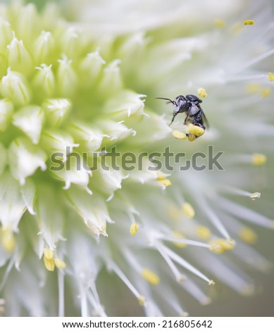 Close up of a very tiny minute Australian native stingless Bee Tetragonula on an onion flower - stock photo