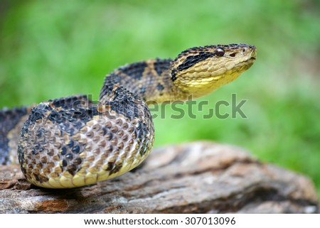 Close up of a Very venomous jumping pit viper getting ready to strike in the jungles of Panama - stock photo