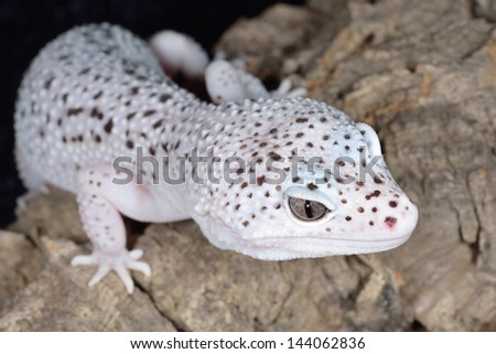 Close-up of a white and brown spotted leopard gecko (Eublepharis macularis) - stock photo