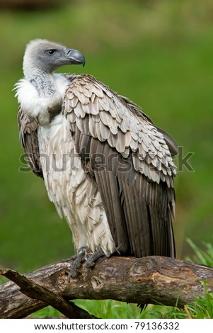 Close-up of a white-backed vulture perched on fallen tree