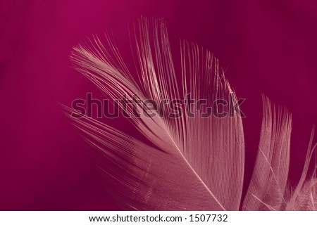 Close-up of a white feather on a dark pink background. Macro photograph: shallow depth of field! - stock photo