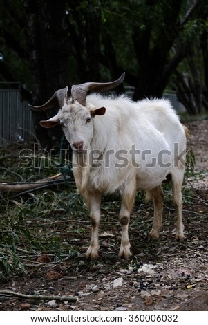 Close-up of a white goat on green grass - stock photo