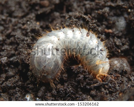 Close up of a white grub burrowing into the soil. The larva of a chafer beetle, sometimes known as the May beetle, June bug or June Beetle. - stock photo