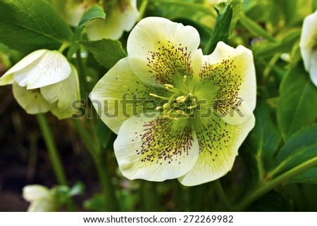 Close-up of a white hellebore (Helleborus hybridus) with purple spots in a garden. - stock photo
