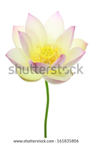 Close-up of a white lotus flower in bloom isolated on white - stock photo