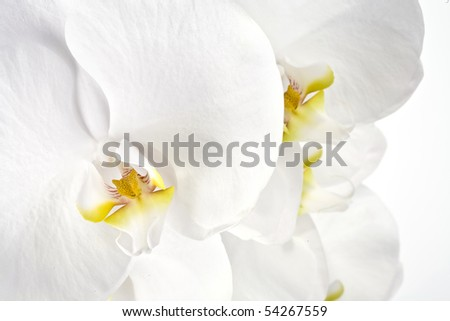 Close-up of a white Phalaenopsis, the most popular orchids in the trade