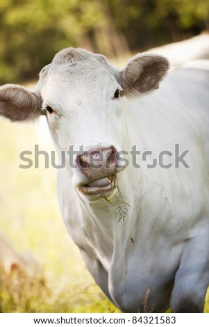Close up of a White Scandinavian cow