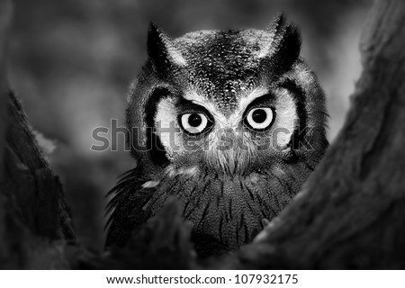 Close-up of a Whitefaced Owl (Artistic Processing)